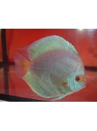 Discus Fish Blue Diamond 10cm
